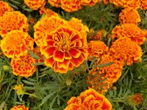 Orange marigold flowers with red in a garden. Nature and botany, natural flower with colorful petals for garden decoration royalty free stock image