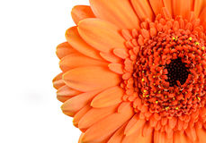 Orange Marigold Gerbera Flower Macro Royalty Free Stock Images