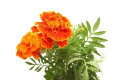 Orange marigold Stock Photography