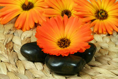 Orange marigold and pebbles Stock Image
