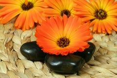 Orange marigold and pebbles. Orange Marigold (Calendula species) flower and three black pebbles Stock Image