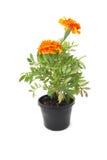 Orange marigold Stock Images