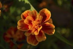 Orange marigold sunlit. Close up. Flower Royalty Free Stock Images