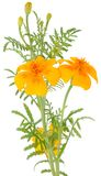 Orange Marigold (Tagetes) Flowers With Buds Stock Photography