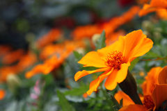Orange marigold - Tagetes Lucida. Tagetes lucida, known as Pericon, Mexican mint marigold, Mexican tarragon or Texas tarragon is a type of marigold flower Royalty Free Stock Image