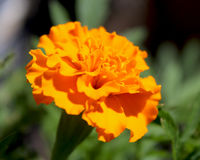 Bright Orange Marigold. Close up of a bright orange French Marigold flower (Tagetes patula), growing in a garden, with natural green background Stock Photos