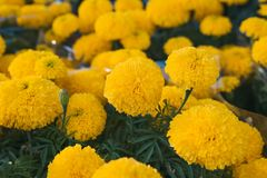 Orange Marigold. Vietnam flower market in Tet holiday/Lunar new year.  royalty free stock photos