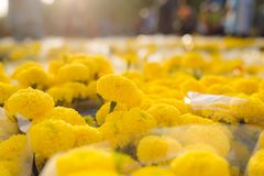 Orange Marigold. Vietnam flower market in Tet holiday/Lunar new year.  royalty free stock images