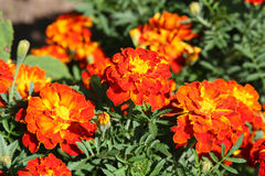 Orange marigolds Royalty Free Stock Photos
