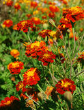 Orange marigolds Royalty Free Stock Photo