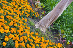 Orange Marigolds around Tree Stock Photos
