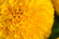 Orange Marigolds flower fields. Selective focus. Flower macro photography stock photography