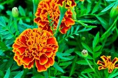Orange marigolds growing Stock Images