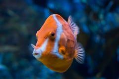 Orange Marine Fish Royaltyfria Foton
