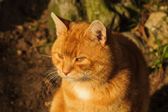 Orange Marmalade Cat. Nice portrait of a ginger or orange marmalade tabby cat enjoying the late summer sunshine in his garden Stock Photography