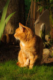 Orange Marmalade Cat. Nice portrait of a ginger or orange marmalade tabby cat enjoying the late summer sunshine in his garden Royalty Free Stock Photo