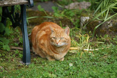 Orange Marmalade Cat. Nice portrait of a ginger or orange marmalade tabby cat enjoying some peace and quiet in his garden shot with shallow focus Royalty Free Stock Images