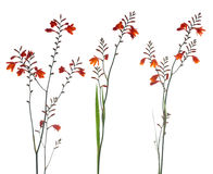 Orange Marsh Gladiolus Royalty Free Stock Photo