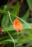 Orange Masdevallia, drakeorkidé som är fullvuxen i Tasmanien, Australien royaltyfri fotografi
