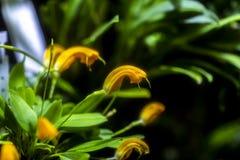 Orange Masdevallia orhid flowers stock photo
