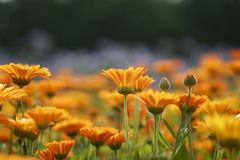 Orange meadow #2. Meadow of orange flowers and buds Stock Photography