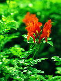 Orange Mediterranean flower Royalty Free Stock Images