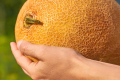 Orange melon rests in the hands of the girl that just got her from the garden. The concept of rural life and organic food Stock Image