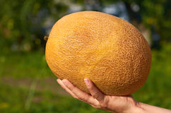 Orange melon rests in the hands of the girl that just got her from the garden. The concept of rural life and organic food Royalty Free Stock Photo