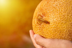 Orange melon rests in the hands of the girl that just got her from the garden. The concept of rural life and organic food Royalty Free Stock Images