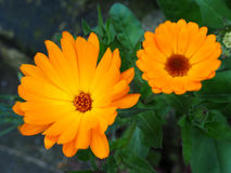 Orange Mesembryanthemums Flowering near the Beach in Southwold Royalty Free Stock Photos