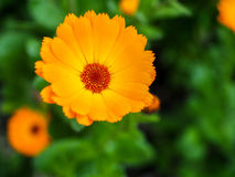 Orange Mesembryanthemums Flowering near the Beach in Southwold Stock Photos