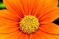 Orange Mexican sunflower Tithonia rotundifolia or `Fiesta Del Sol` flower macro photo with stunning intense orange colors. And a small green insect seen as stock photos