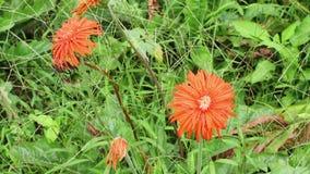 Orange mexikanische Sonnenblume (Tithonia-rotundifolia) in der vorderen Hausmauer stock video footage