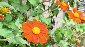 Orange mexikanische Sonnenblume (Tithonia-rotundifolia) in der vorderen Hausmauer stock video