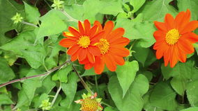 Orange mexikanische Sonnenblume (Tithonia-rotundifolia) in der vorderen Hausmauer stock video footage