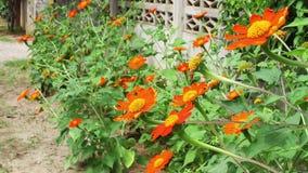 Orange mexikanische Sonnenblume (Tithonia-rotundifolia) in der vorderen Hausmauer stock footage