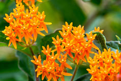 Orange Miniature Wild Flower Clusters. Several miniature wild flower clusters of vibrant orange growing silently in the wild of the countryside giving life and royalty free stock images