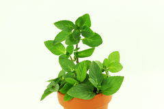 orange mint herb in white background Stock Image