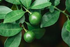 Orange minuscule verte sur l'arbre avec la feuille verte Images stock