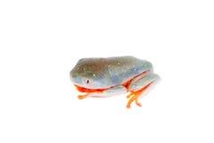Orange-mit Beinen versehenes Nordblatt, das auf Weiß frogling ist Stockbild