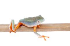 Orange-mit Beinen versehenes Nordblatt, das auf Weiß frogling ist Lizenzfreies Stockbild