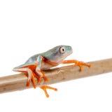 Orange-mit Beinen versehenes Nordblatt, das auf Weiß frogling ist Stockfoto
