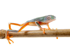 Orange-mit Beinen versehenes Nordblatt, das auf Weiß frogling ist Stockbilder