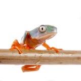 Orange-mit Beinen versehenes Nordblatt, das auf Weiß frogling ist Lizenzfreie Stockfotografie