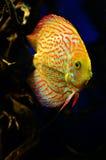 Orange mit weißen diskus Fischen schwimmt tief Lizenzfreie Stockfotografie