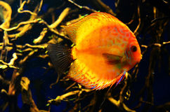 Orange mit weißen diskus Fischen schwimmt tief Stockbilder
