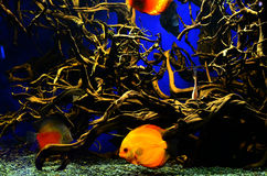 Orange mit weißen diskus Fischen schwimmt tief nahe den Algen Lizenzfreie Stockbilder