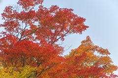 Orange, mixture of yellow and red. These two trees or maples, orange and red are flamboyant and the yellow completes well the whole. Beautiful autumnal colors of Royalty Free Stock Photo