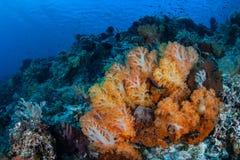 Orange mjuka koraller och sund rev i tropiskt Stillahavs- royaltyfri bild
