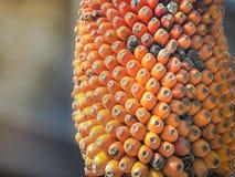 Orange moget frö på träd, i morgonljus Royaltyfri Bild